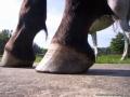 5buckshot_s_hooves_7-23-2008_009