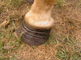The Hoof Is The Mirror To Your Horse S Health Barefoot