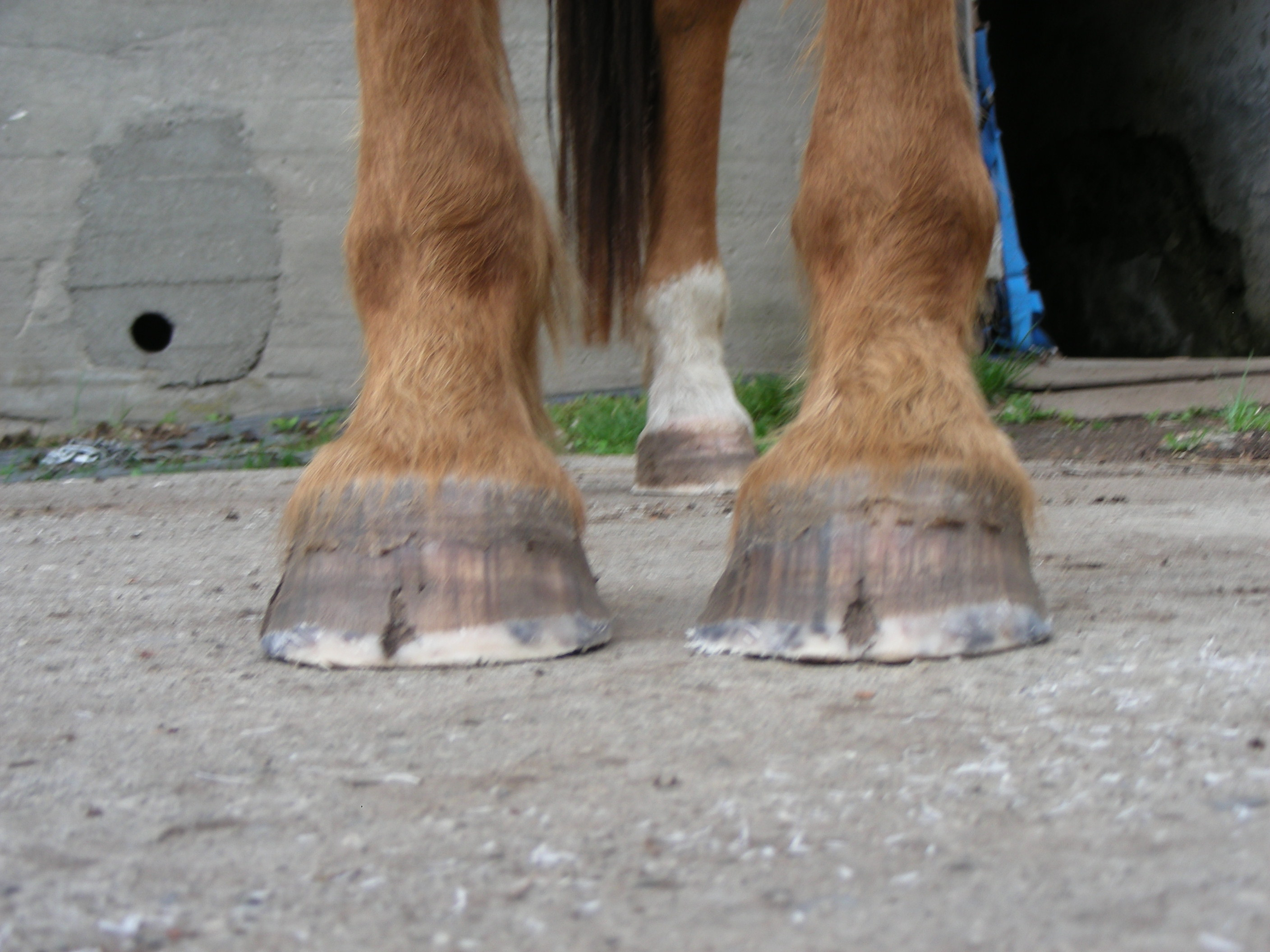Severe Medial Lateral Imbalance Cracks Barefoot Hoofcare