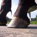buckshot_s_hooves_7-23-2008_009